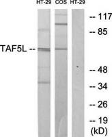 Western blot analysis of extracts from HT-29 cells and COS-7 cells using TAF5L antibody