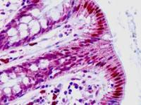 Immunohistochemical staining of paraffin embedded human small intestine tissue using HEXIM1 antibody (primary antibody at 1:200)