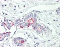 Immunohistochemical staining of paraffin embedded human breast tissue using SCC-S2 antibody (primary antibody at 1:200)