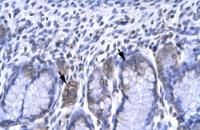 Antibody used in IHC on Human Stomach.