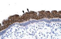 Antibody used in IHC on Human Spermatophore.